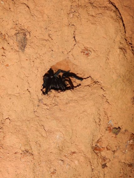 Tarantulas coming out of the walls under the house at night. Cool!